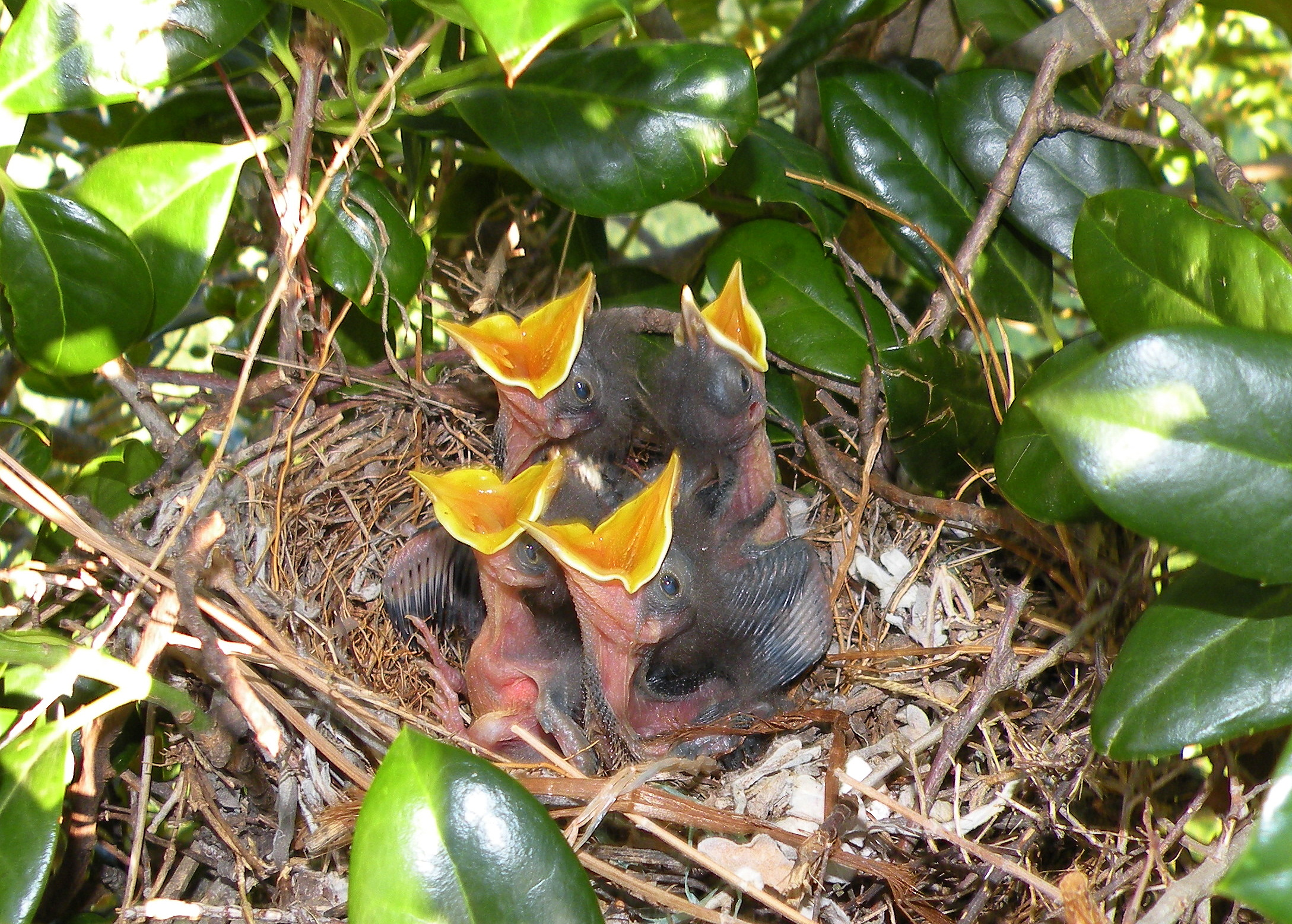 Our Baby Mockingbirds Are Growing Fast   Photos by Donna  Newborn Mockingbird